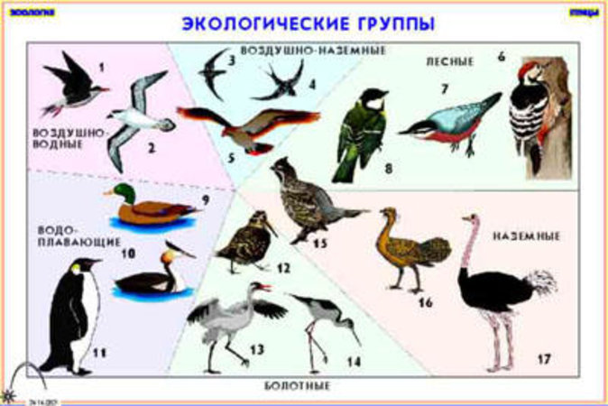 схема класс птиц